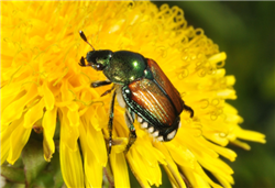 Japanese beetle on dandelion