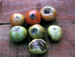 Variety of Blossom End-Rot on Tomatoes