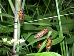 Three cicadas on tree