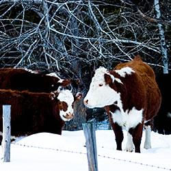 Cattle in winter field