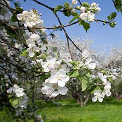 Spring orchard trees