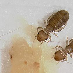 Booklouse (Photo credit: David Shetler/Ohio State Univ.)