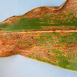 Initial symptoms of tar spot are brownish lesions on the leaves of afflicted corn plants. Black, spo