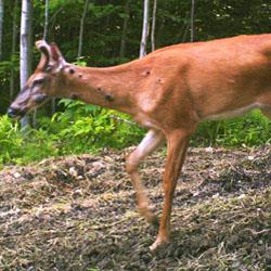 White-tailed Deer with warts