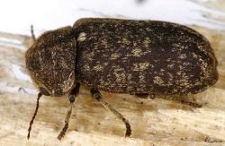 image of a Deathwatch beetle