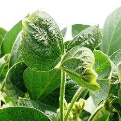 image of healthy soybeans