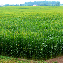 field of healthy corn