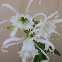 Spider Lily plant