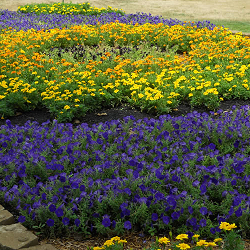image of petunias and marigolds