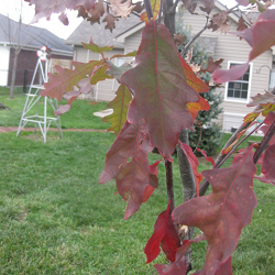 picture of oak leaves in the fall