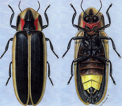 drawing of 2 fireflies