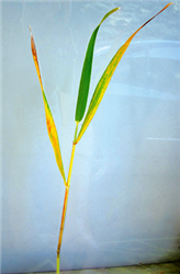 photo of a wheat plant stem, showing freeze damage
