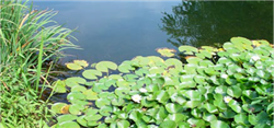 Picture of pond weeds