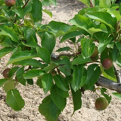 picture of a Dwarf apple tree with immature fruit