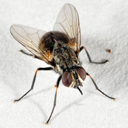 picture of a Stable fly with extended mouthparts