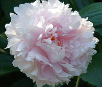 picture of a double peony flower