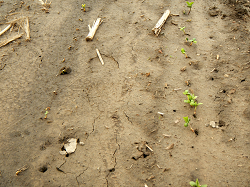 photo of soybean field exhibiting blight