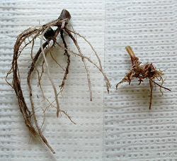 healthy corn plant roots (left), and corn plant roots affected by nematodes (right)