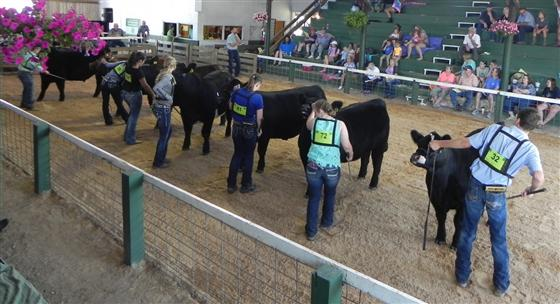 Warren County 4-Hers Showing Beef