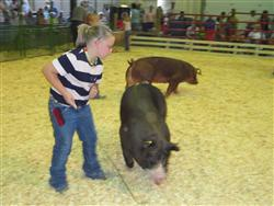 Henry Co 4-H Swine Project