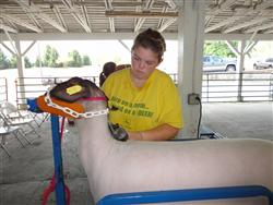Henry Co 4-H Sheep Project