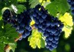 Cluster of Purple Grapes