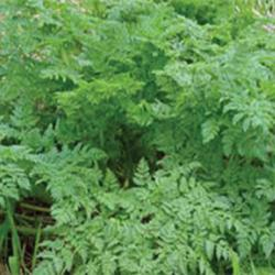 Invasive plant species, hemlock