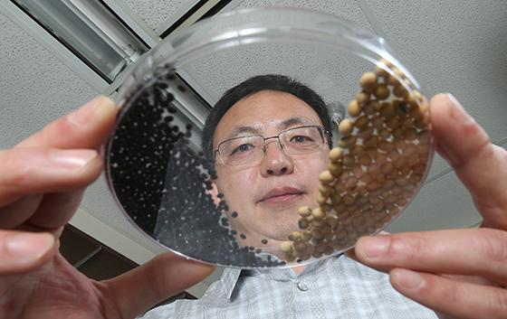 Jianxin Ma holds a dish of seeds from cultivated soybeans (right) and from their wild, hard-coated r