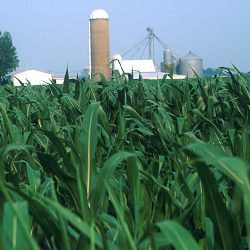 picture of a corn field with farm buildings in the distance