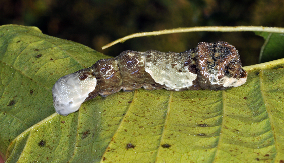 picture of a giant swallowtail larva
