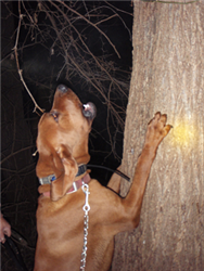 picture of a redbone hound treeing